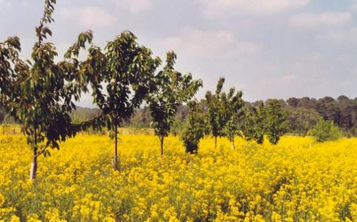 Wild cherry trees and oilseed rape in spring: a mixture of colours (Hérault, France)