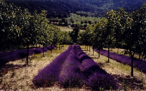Lavander and walnut trees at the beginning of summer (Drôme, France)