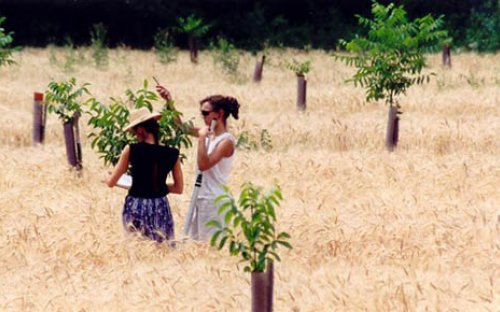 Young walnut trees in wheat (Hérault, France)