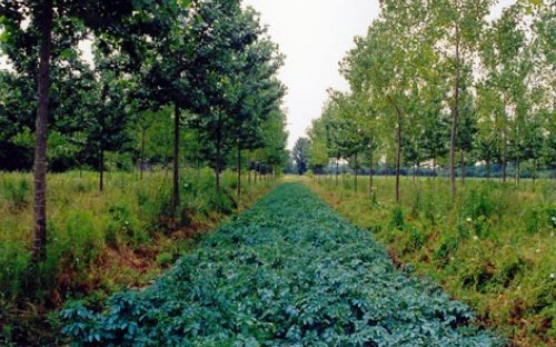 Potato cultivation in a poplar plot which has been planted at a density used in poplar plantations