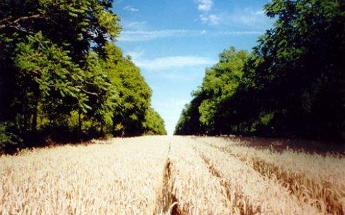 Triticale in a plot of twenty four year old walnut trees