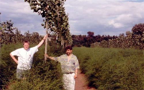 An asparagus-poplar mixture obtained by planting in an established asparagus bed