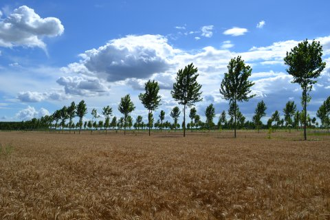 A new silvoarable site with hybrid poplars and peduncolate oak (not yet fully visible along tree line) for timber production, in Masi, Italy.